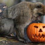 halloween scimmia