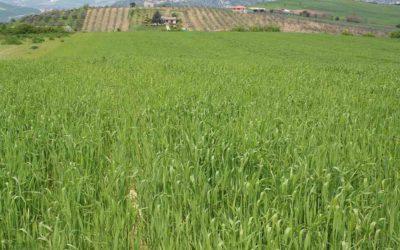 """""""Grani Antichi"""": al via in Irpinia il progetto per salvare la Risciola, giovani agricoltori in campo"""