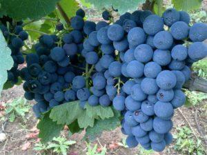 uva aglianico